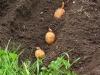 Посадка картофеля в Беларуси